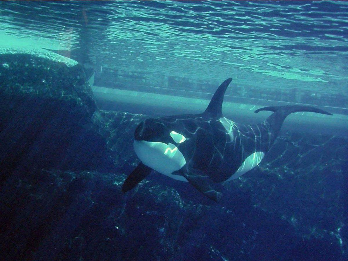 Orca (id: 192863) | WallPho.com