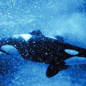 download orca wallpaper by annlo13 wallpaper – Animal Backgrounds