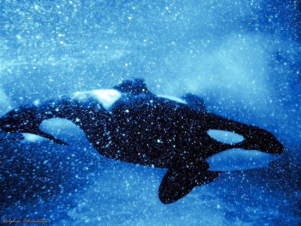 orca wallpaper by annlo13 wallpaper – Animal Backgrounds