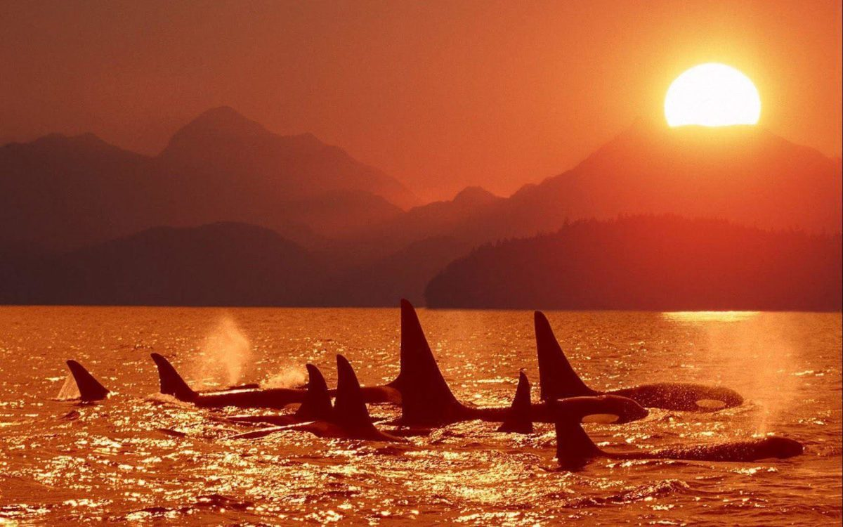 Killer Whales Wallpaper Images & Pictures – Becuo