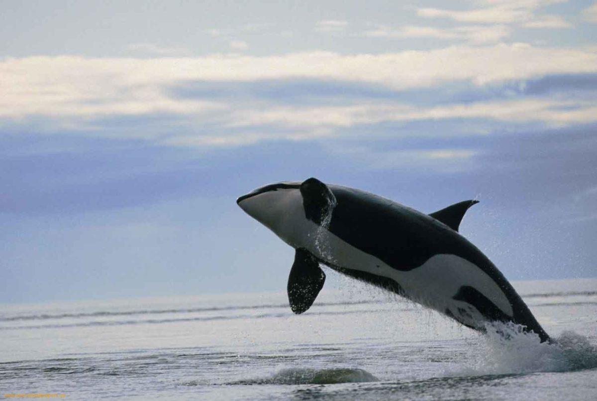 Orca Hd Wallpaper