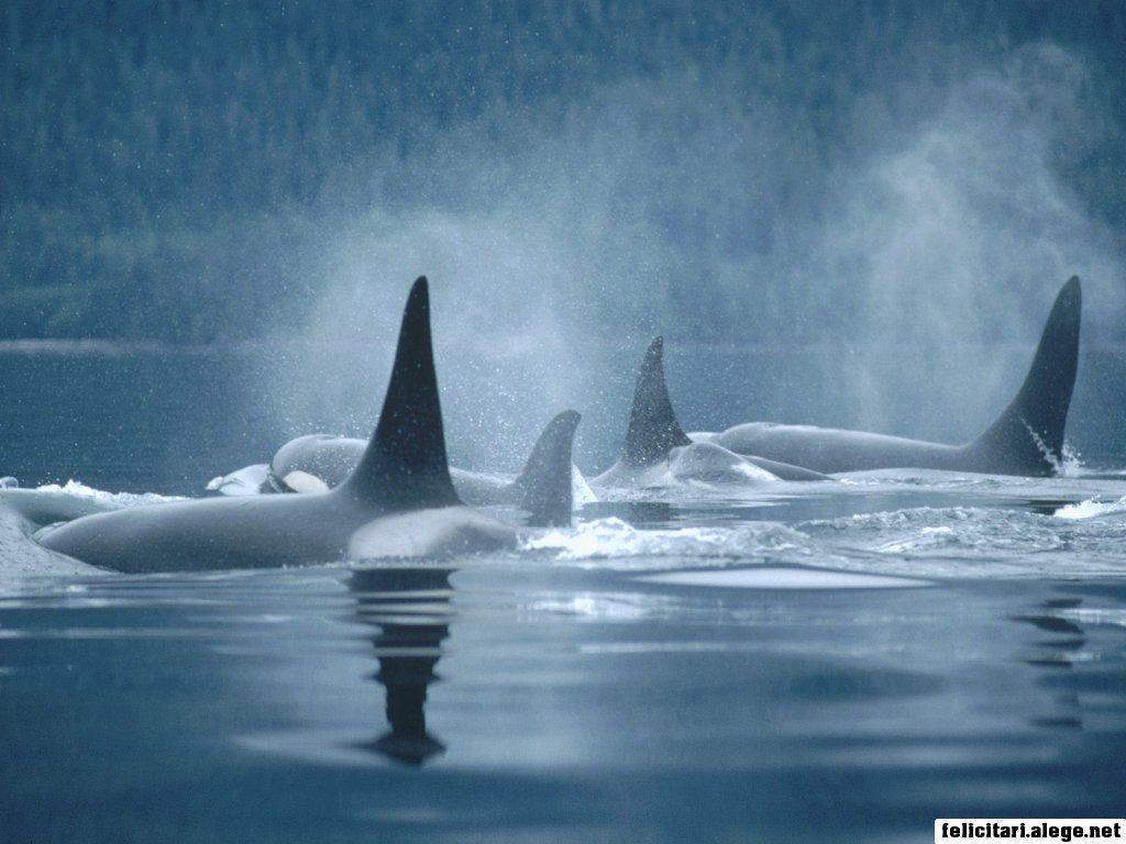free wallpapers Orca Group Surfacing Johnstone Straits British …
