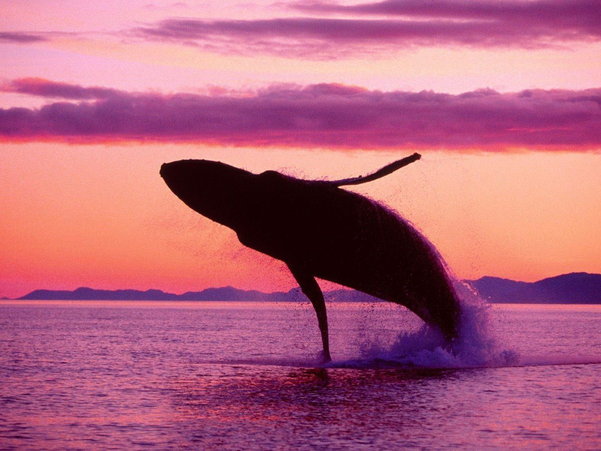Killer Whale Photos Orca Wallpapers| HD Wallpapers ,Backgrounds …