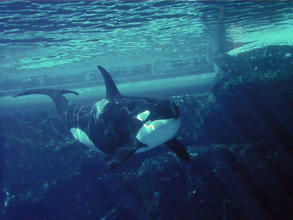 Orca Wallpaper | Animals Wallpapers Gallery | PC Desktop Wallpaper
