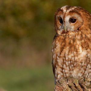 download Tawny Owl Wallpaper by Photosbykev on DeviantArt