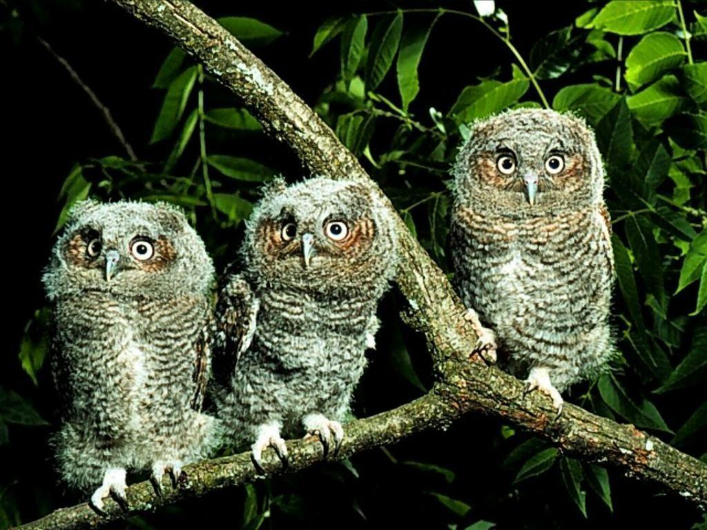Owl Wallpapers (Wallpaper 1-5 of 5)