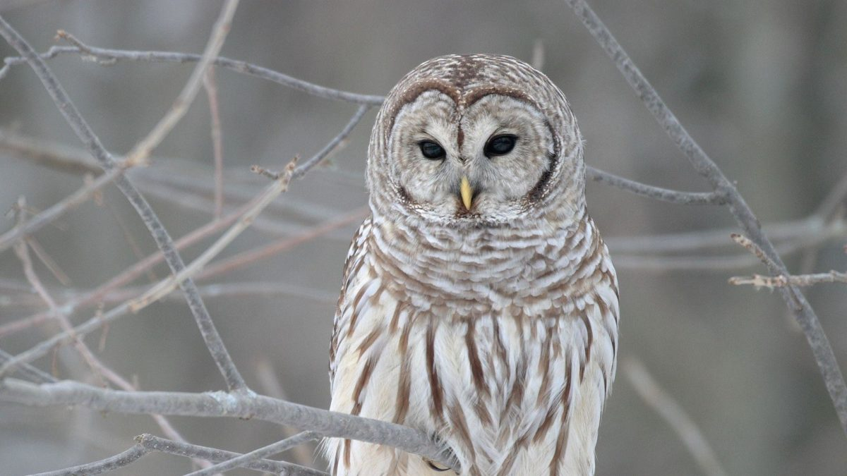 612 Owl Wallpapers | Owl Backgrounds Page 6
