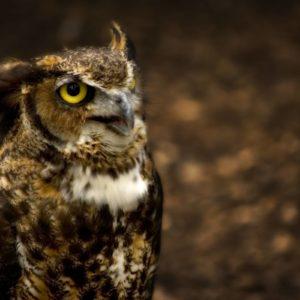 download Owl Wallpapers