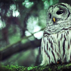 download Owl Wallpapers – HD Wallpapers Inn