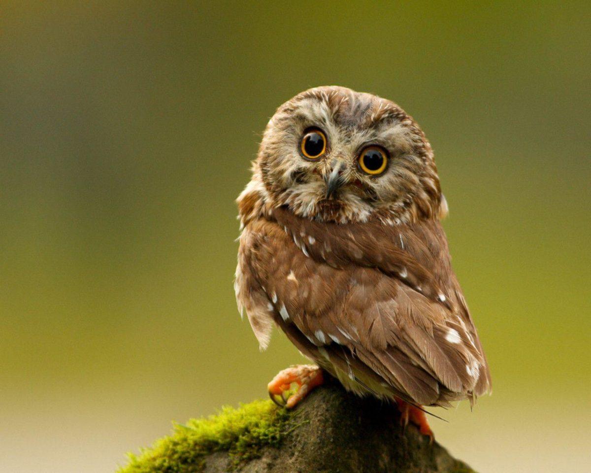 Keywords Owl Owls Bird Birds Hoot Animal Animals Wallpapers …