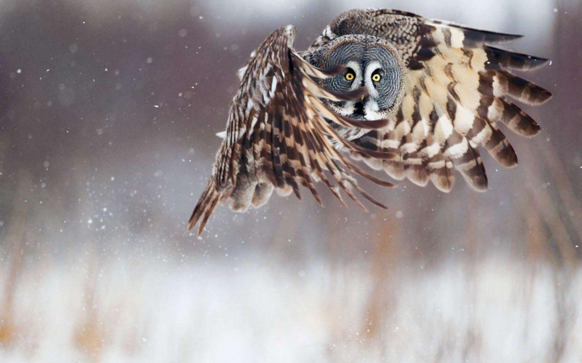 Wallpapers For > Hd Owl Desktop Background