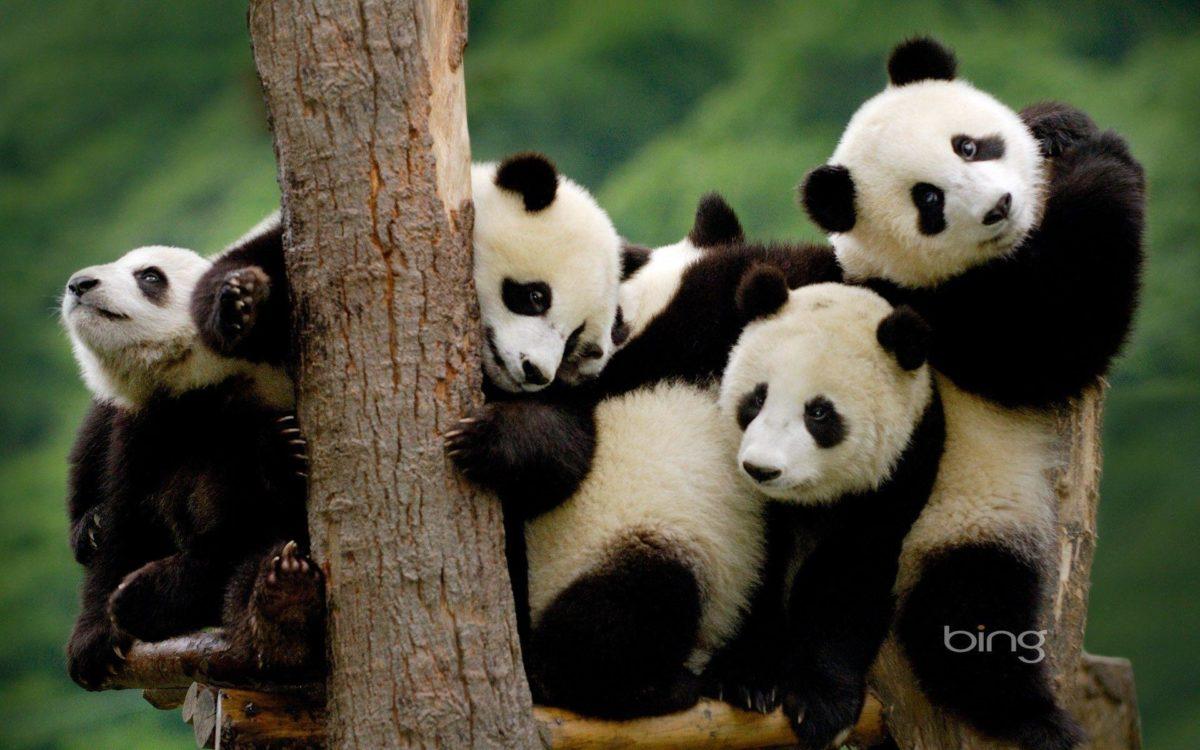 Panda Bear Desktop Wallpapers – HD Wallpapers Inn