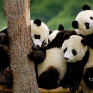 download Panda Bear Desktop Wallpapers – HD Wallpapers Inn