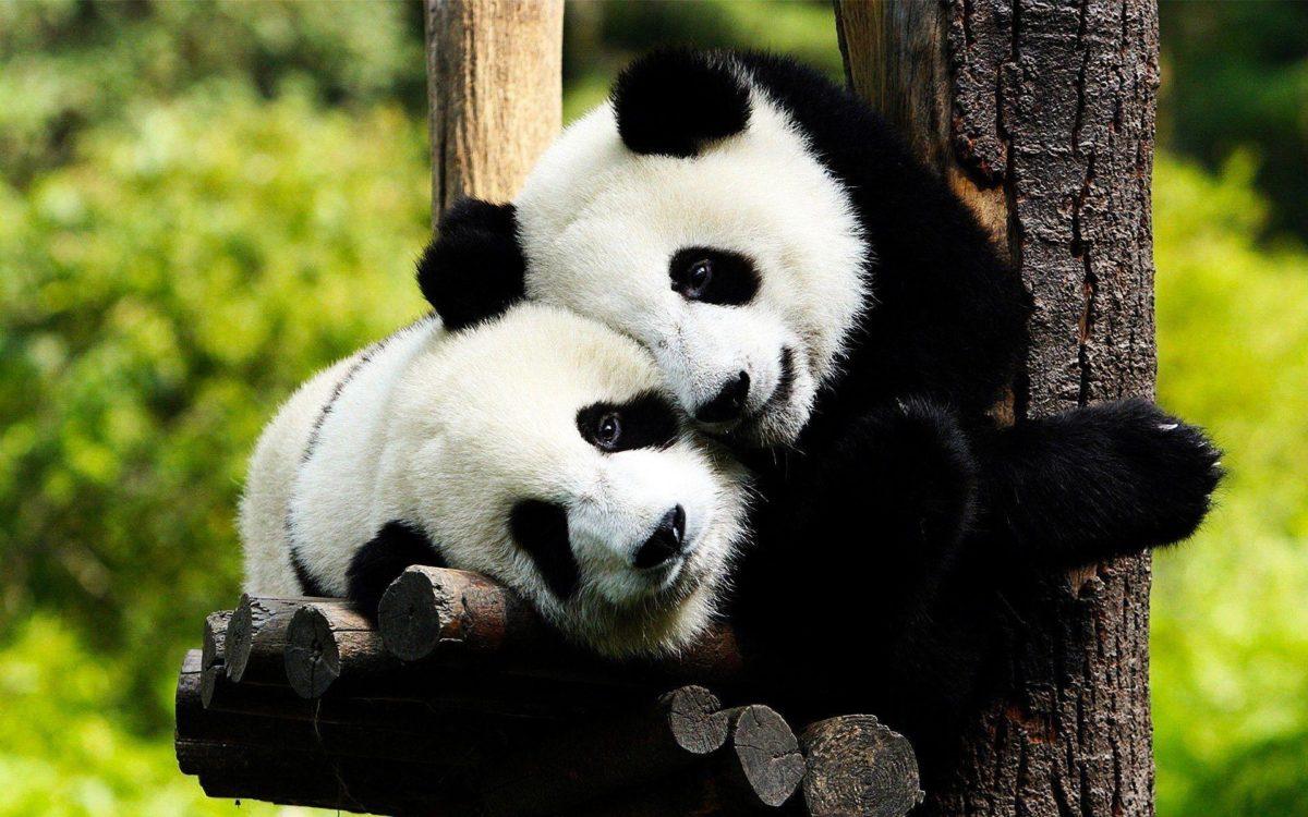 Panda Bear Desktop Wallpaper   Panda Bear Photos   Cool Wallpapers