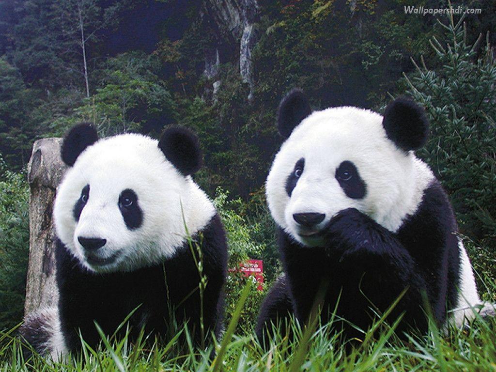 panda bear wallpaper   Zone Wallpaper Backgrounds