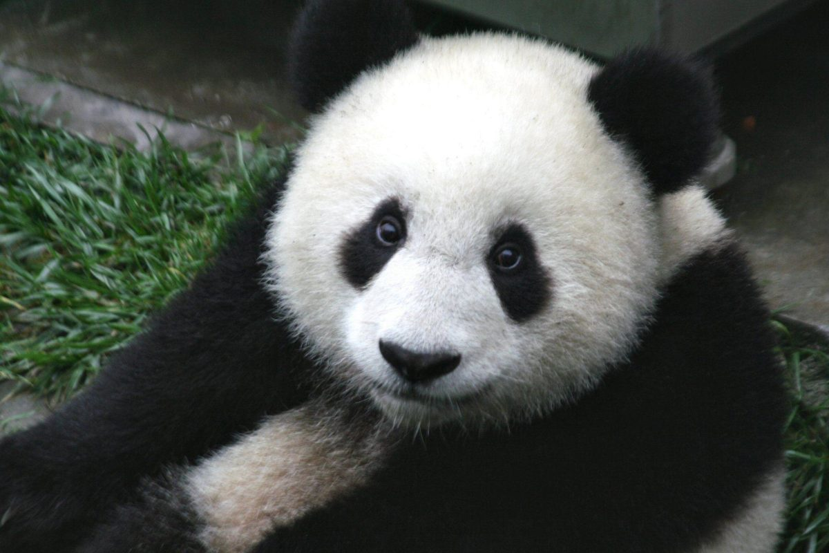 Cute Panda Bear Wallpaper   Animal HD Wallpapers