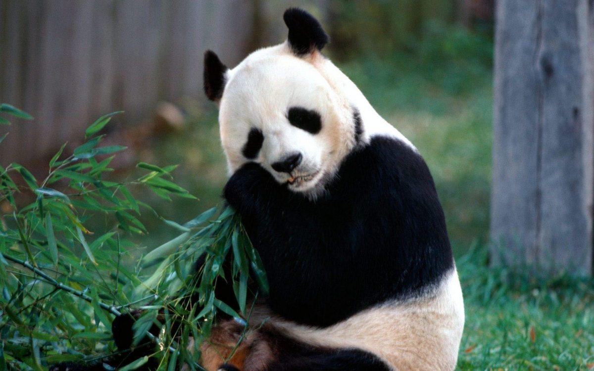 165 Panda Wallpapers   Panda Backgrounds