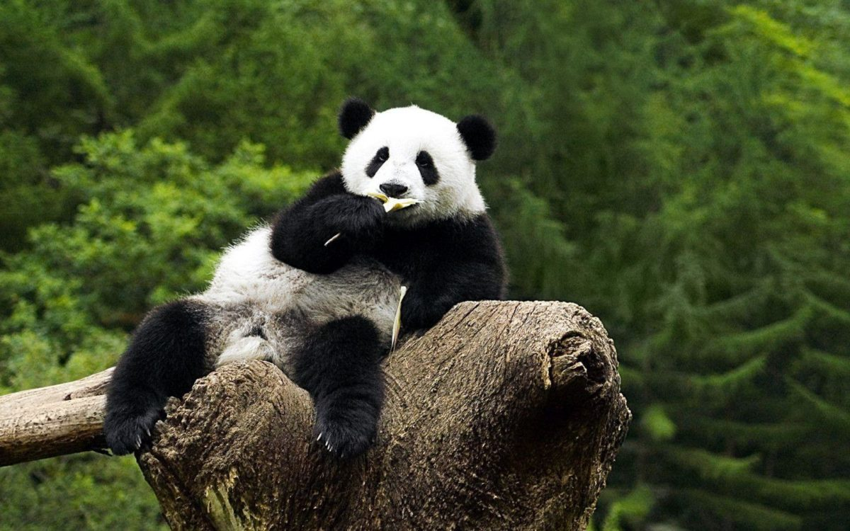 Panda Bear Wallpaper Images & Pictures – Becuo