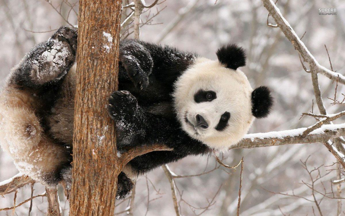 panda bear wallpaper – www.wallpaper-free-download.com