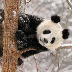 download panda bear wallpaper – www.wallpaper-free-download.com