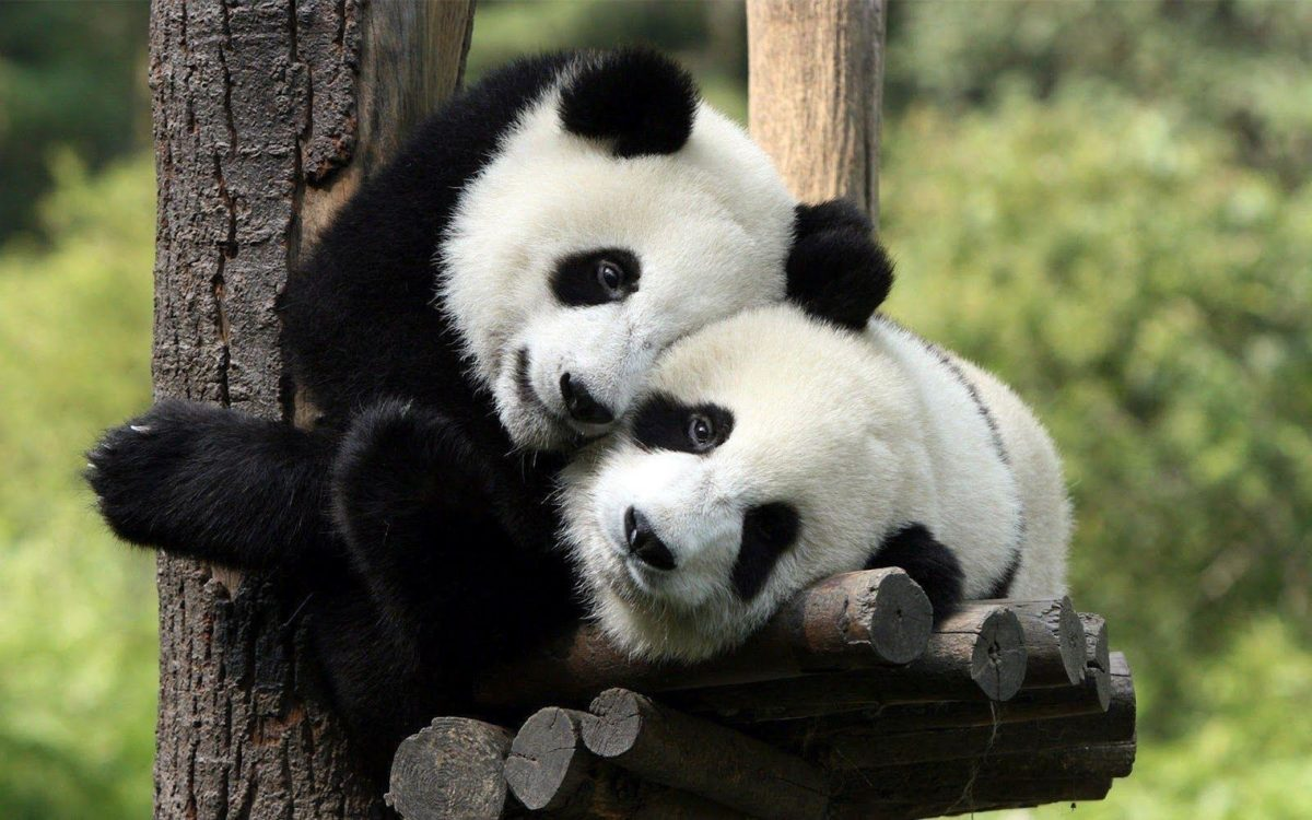 Two panda bears in a tree wallpaper | HD Animals Wallpapers