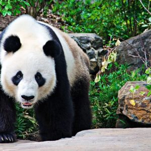 download Panda bear wallpaper Wide or HD | Animals Wallpapers