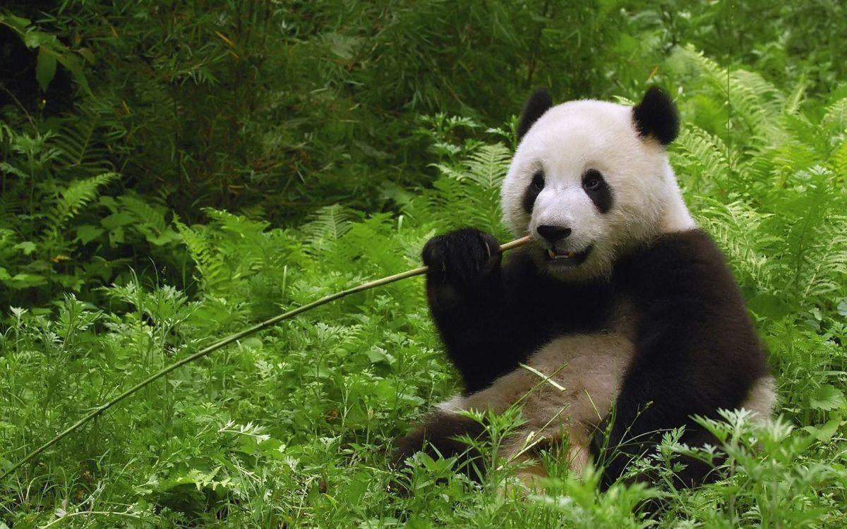 Giant Panda bear 1680 x 1050 Wallpaper