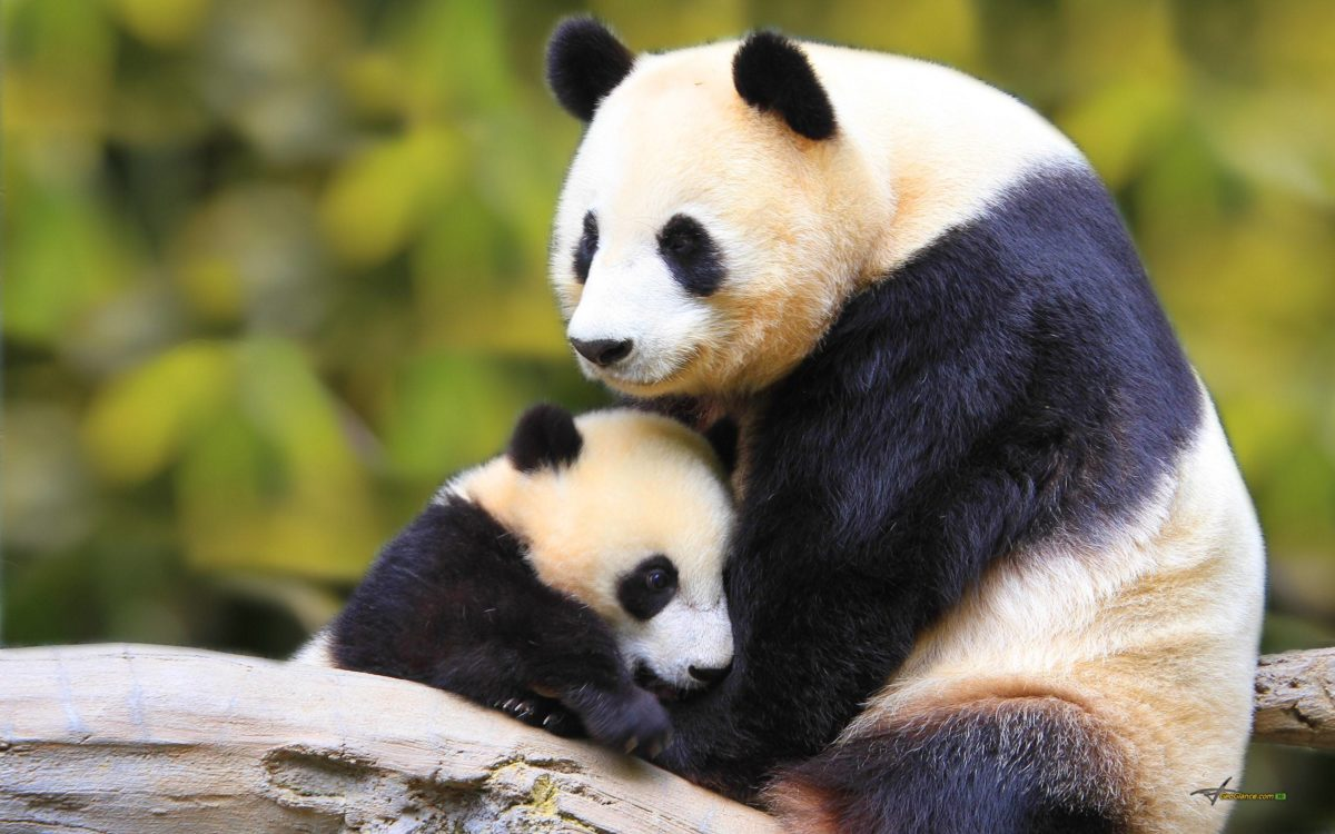 Panda Wallpapers – Full HD wallpaper search