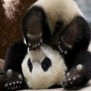 download Wallpapers For > Baby Panda Bear Wallpaper