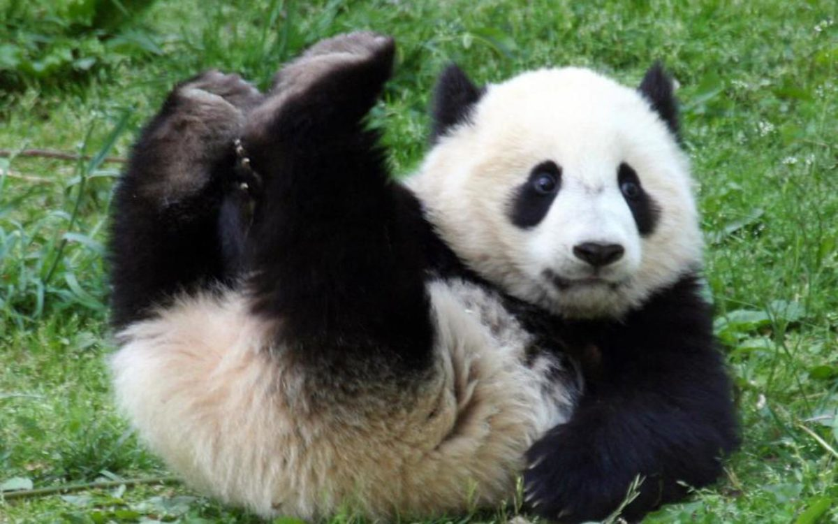 Panda-