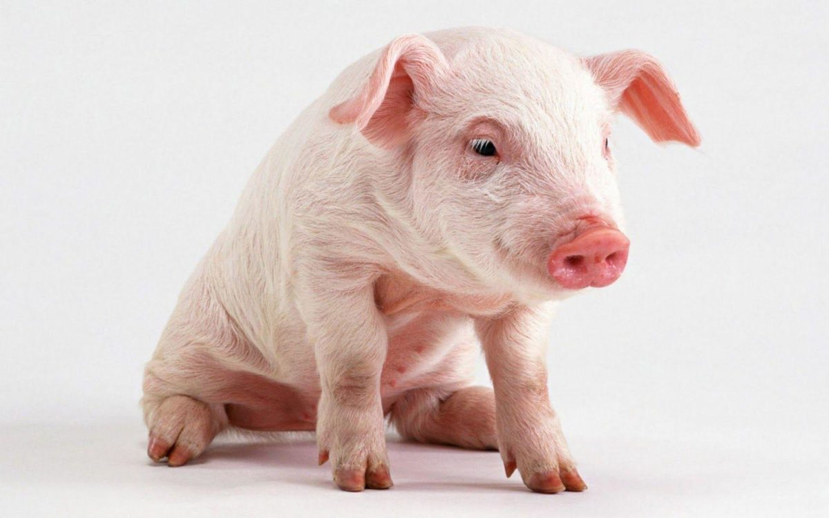 Pigs Wallpapers – Barbaras HD Wallpapers