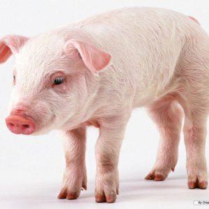download Pig background wallpaper – Animal Backgrounds
