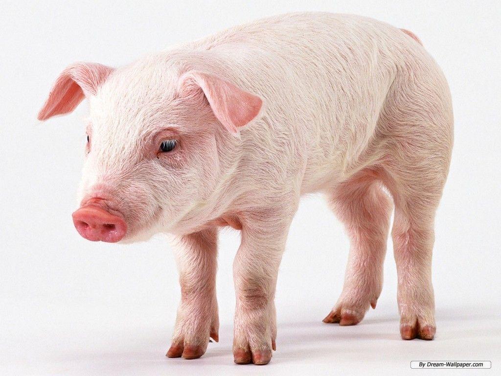 Pig background wallpaper – Animal Backgrounds