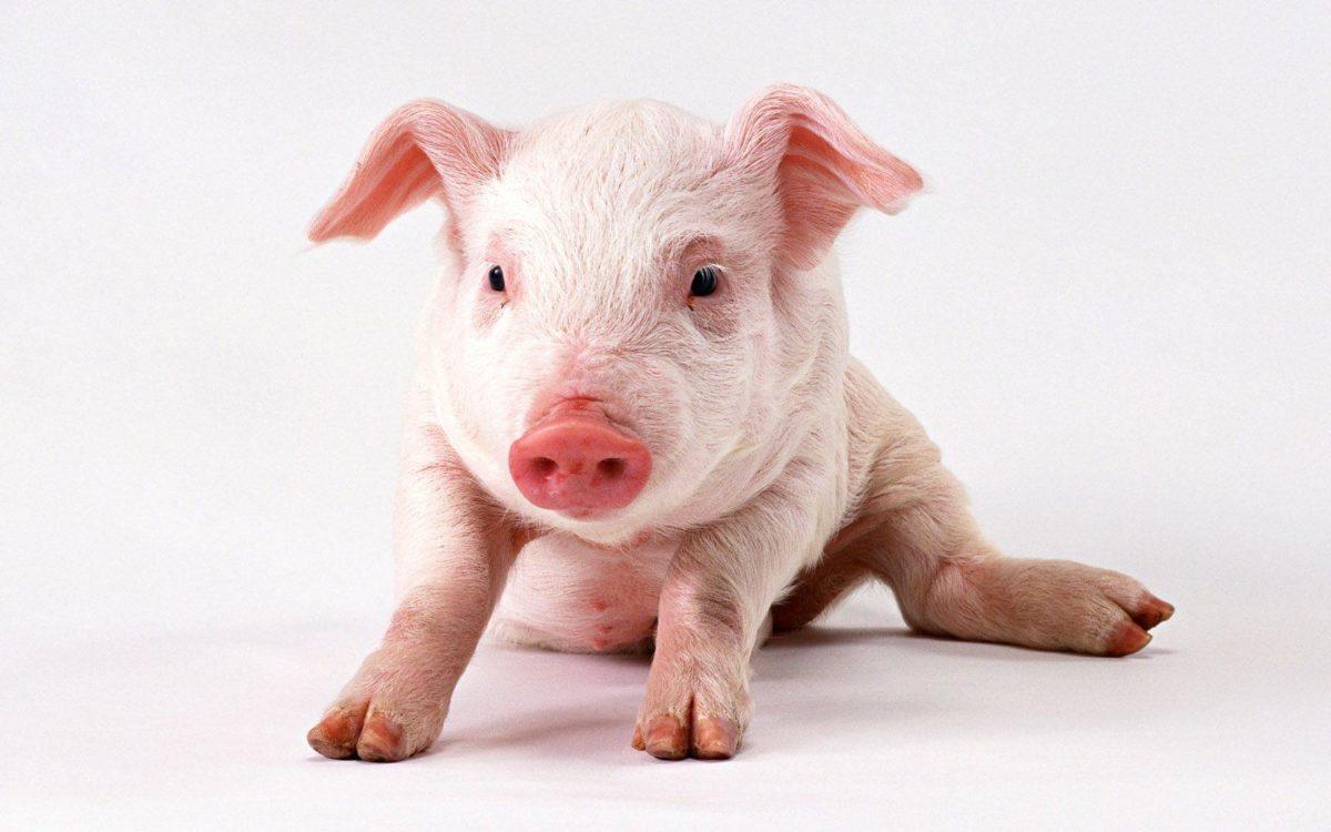 Pig Wallpaper | Large HD Wallpaper Database