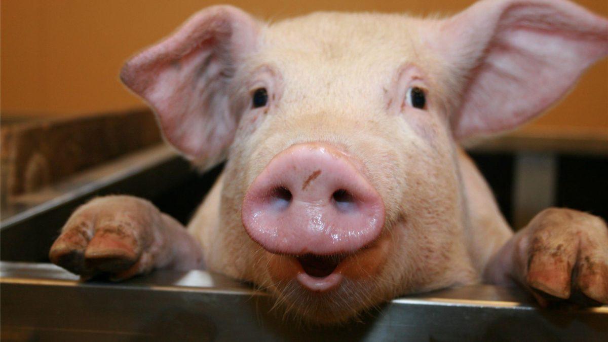 Pig HD Wallpapers – HD Wallpapers Inn