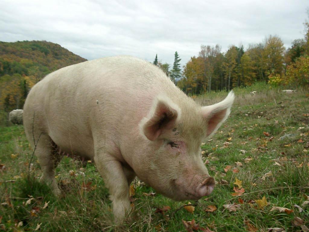Pig wallpaper – Animal Backgrounds
