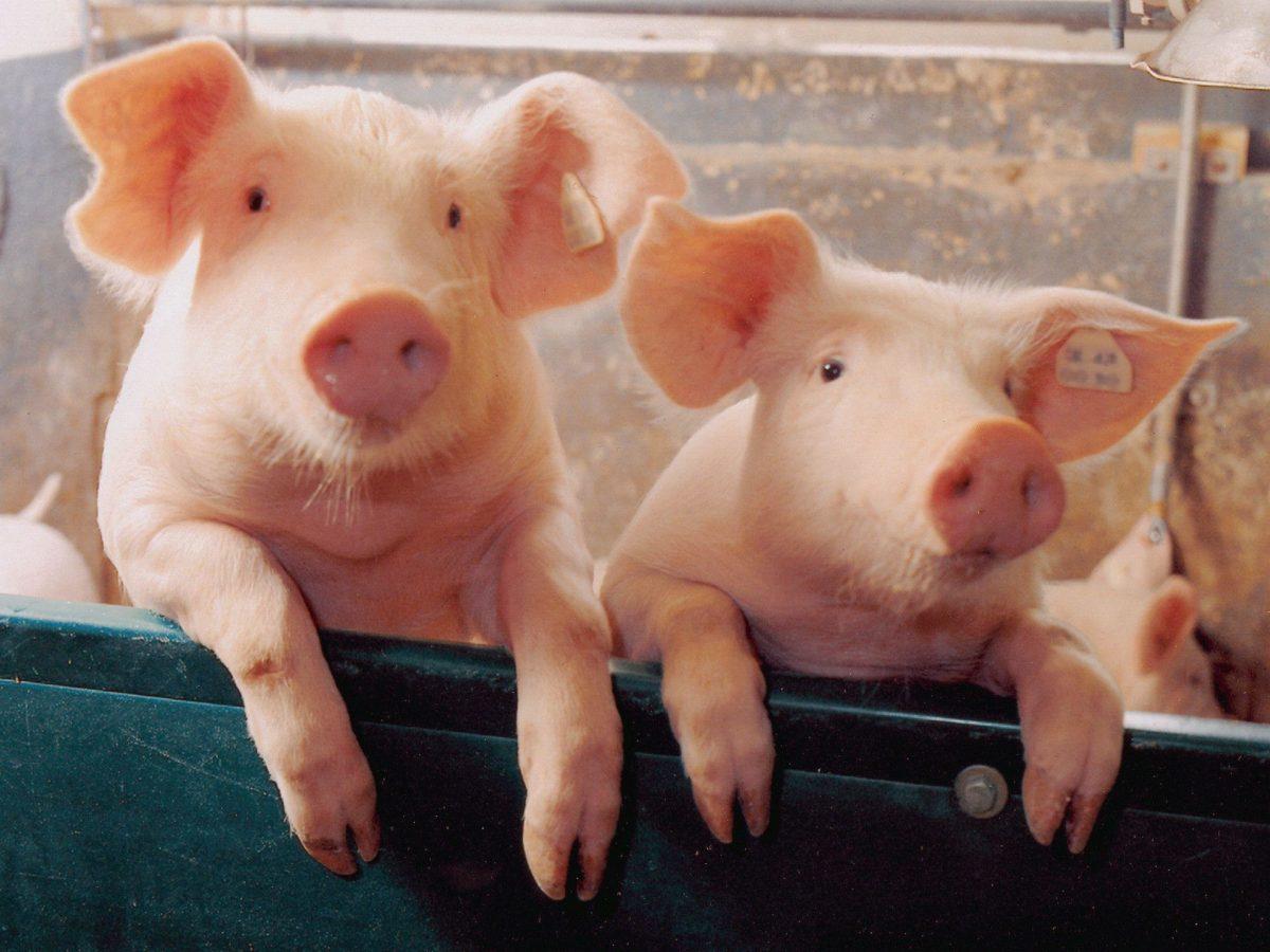 Two little Piggies – Pigs Wallpaper (1078267) – Fanpop