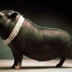download Pigs Wallpapers – Barbaras HD Wallpapers