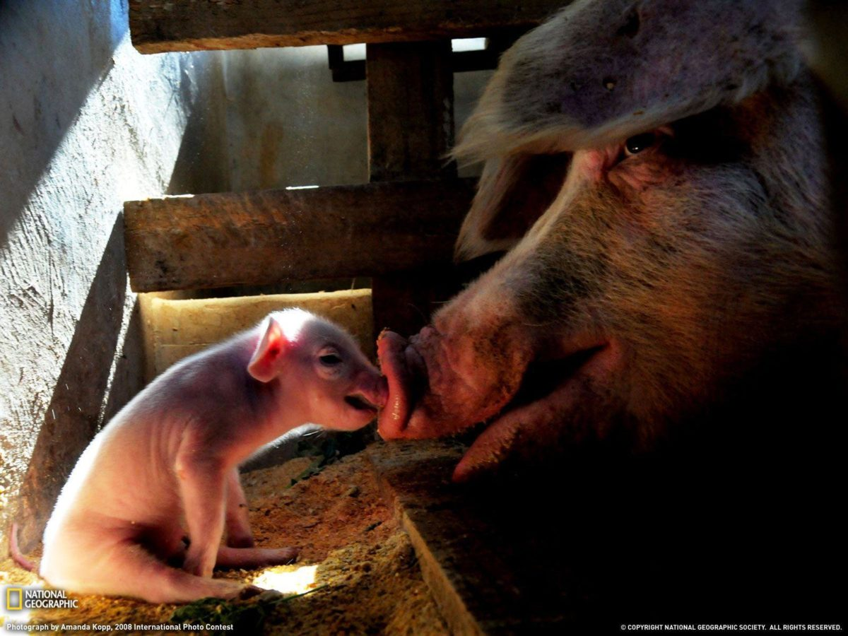Mother Pig and Piglet Picture, Animal Wallpaper – National …