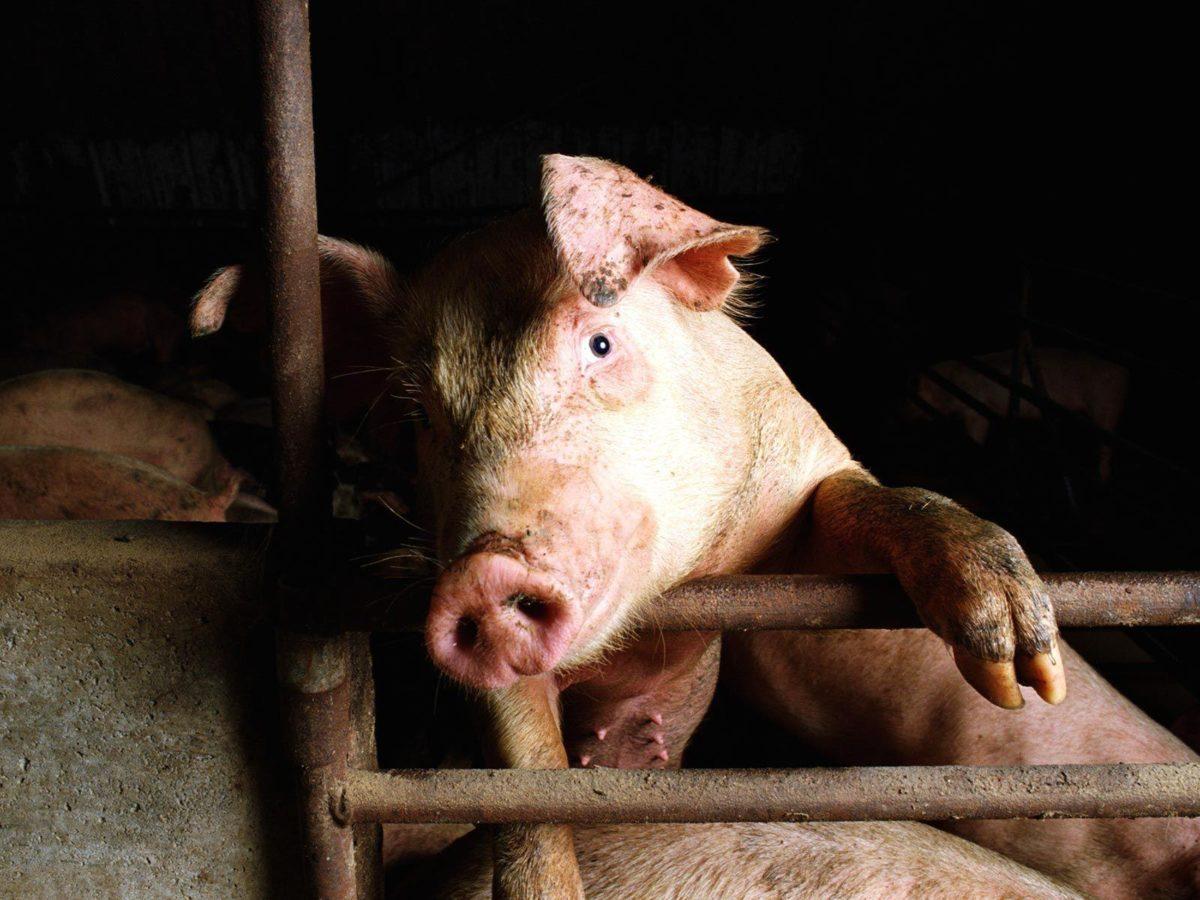Pig HQ wallpaper – Animal Backgrounds