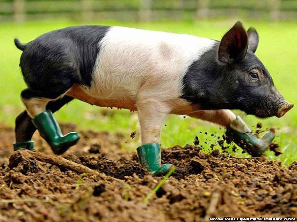 Baby Pig Wallpaper 22968 Hd Wallpapers in Animals – Imagesci.com