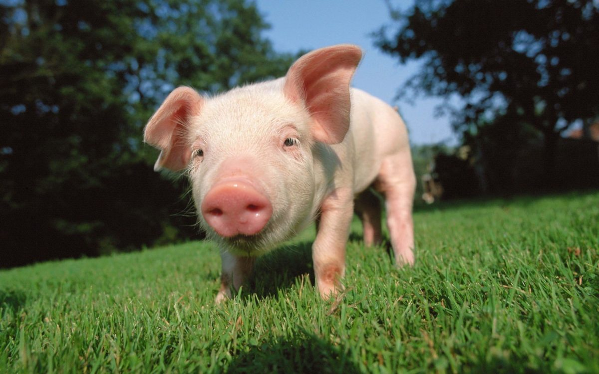pig wallpaper   pig wallpaper – Part 2