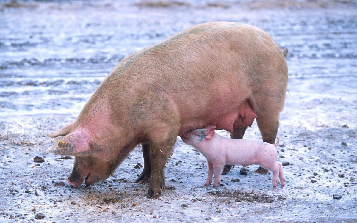pig wallpaper | pig wallpaper – Part 8