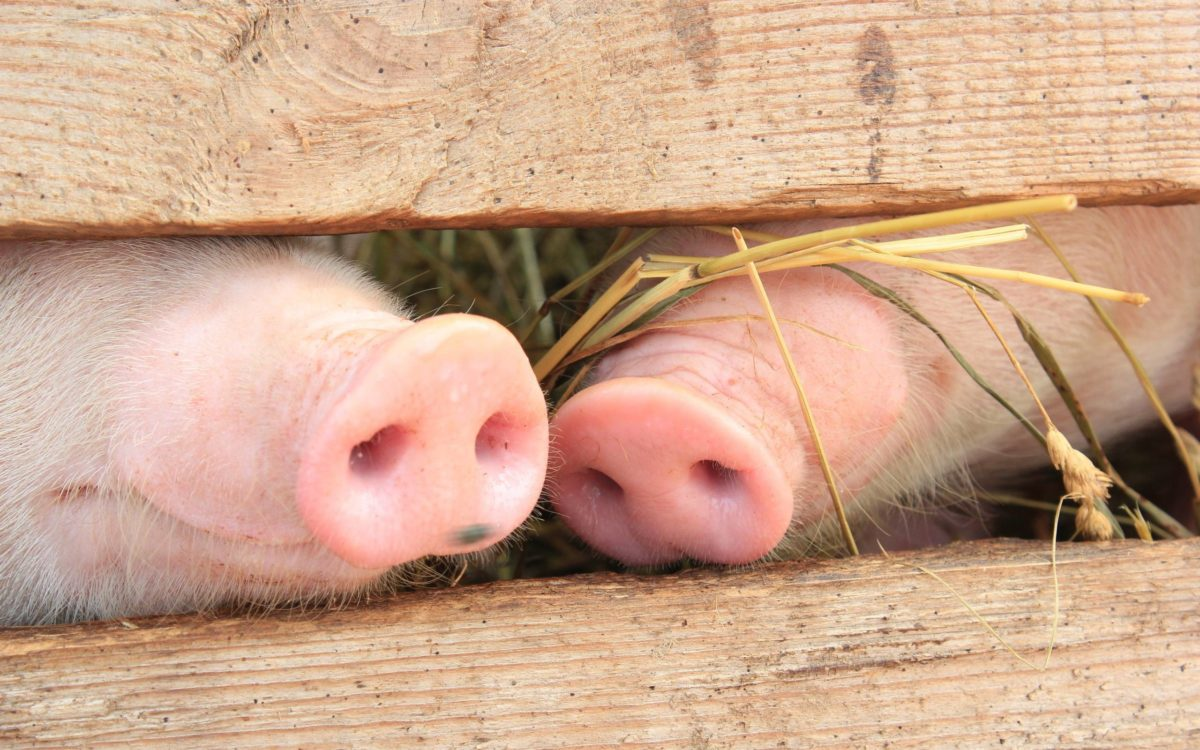 Pig heels wallpapers and images – wallpapers, pictures, photos