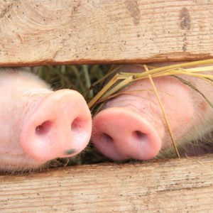 download Pig heels wallpapers and images – wallpapers, pictures, photos