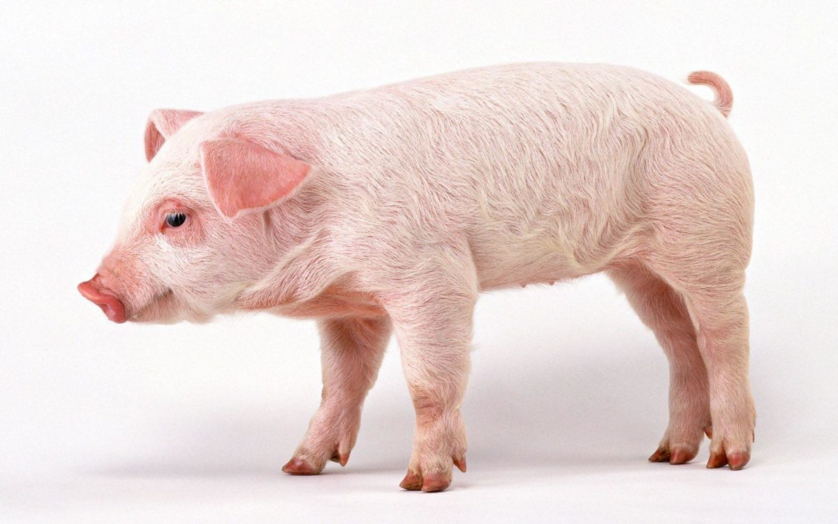 41 Pig HD Wallpapers | Backgrounds – Wallpaper Abyss