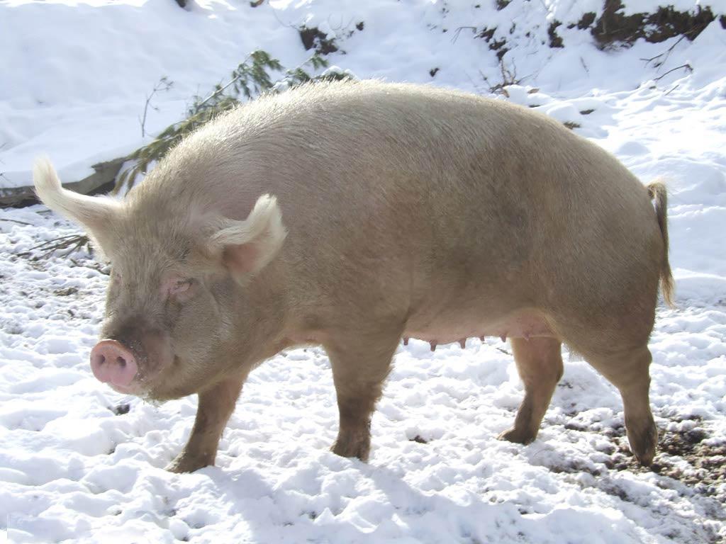 Free Pig Wallpaper – Animals Town