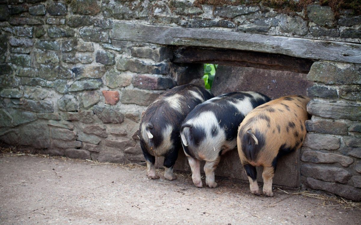pig wallpapers | WallpaperUP