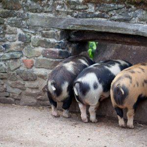 download pig wallpapers   WallpaperUP