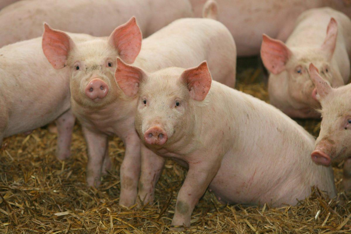 Farm Pigs – wallpaper.